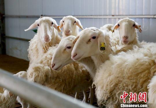 为了把羊养好,高向银和丈夫一有时间就到周边的养殖大户或者养羊