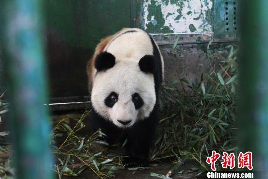 中新网兰州10月18日电 (徐雪 李亚龙)18日,兰州动物园大熊猫蜀兰悠闲地坐在竹子堆里进食,时不时发出叫声,背部右侧约1厘米的伤口经过治疗已经愈合结痂。   10月15日下午起,多名微博用户在网上爆料,称蜀兰背上受伤,疑遭虐待。16日,兰州市生态建设管理局对外公开回应称,经过多方调查、专家会诊、分析伤情,初步认为大熊猫在进食或打滚时被竹竿切口意外造成局部创伤,不存在饲养人员虐待大熊猫的情况,网友拍摄的照片上疑似伤口的棕色痕迹,为治疗过程中碘酊喷液。   兰州动物园对蜀兰的日常饮食等有严