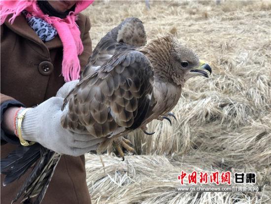 国家一级保护动物金雕受伤 山丹马场职工与游客接力救助
